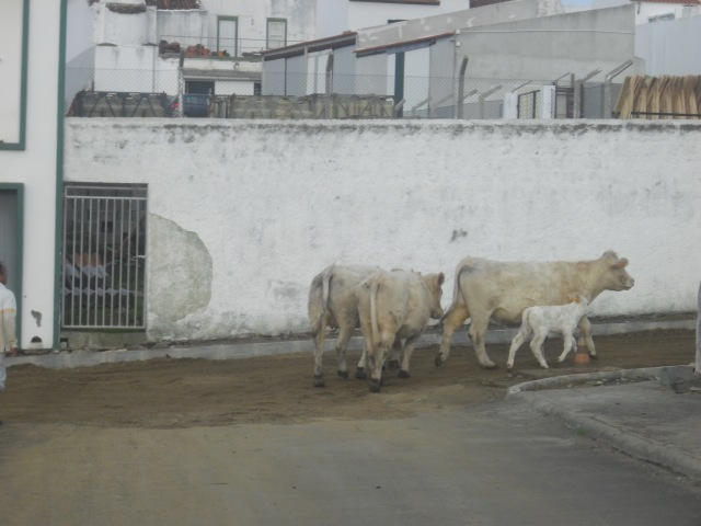 Cows being herded through Vila