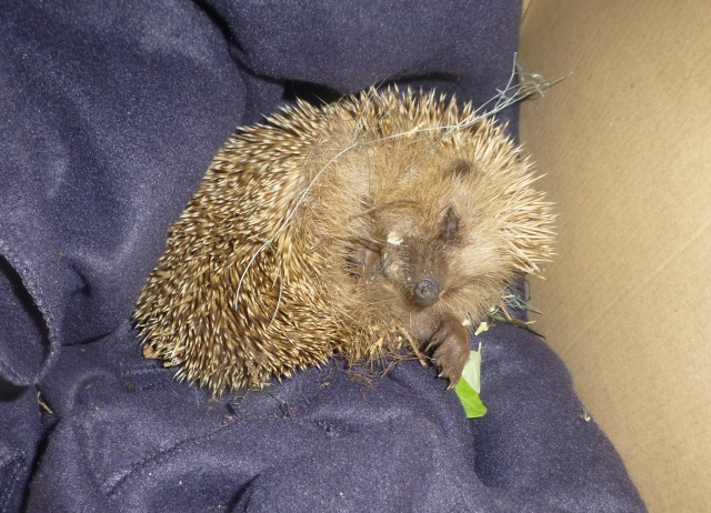 Our Hedgehog Friend Resting, Recovering..
